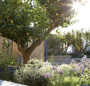 Close up of lemon tree and alliums at the Lemon Tree Trust garden, 2018 RHS Chelsea Flower Show