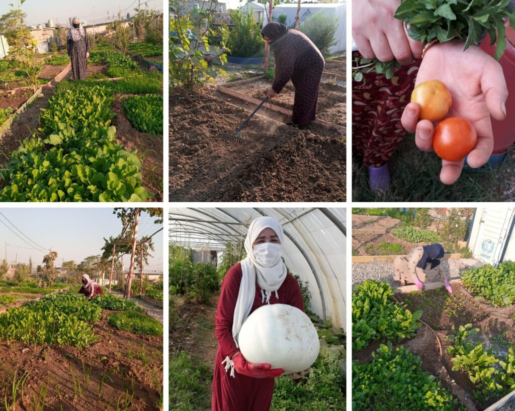 Photo collage of gardeners tending to the Axadi Community Garden, Domiz 1 camp, Kurdistan Region of Iraq